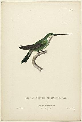 Oiseau-Mouche Mediastin (Female)