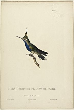 Oiseau-Mouche Plumet Bleu (Male)