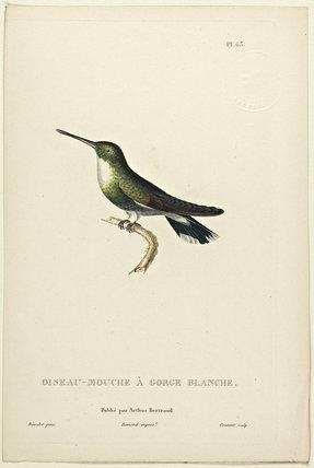 Oiseau-Mouche A Gorge Blanche