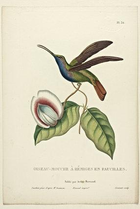 Oiseau-Mouche  A Remiges en Eaucilles