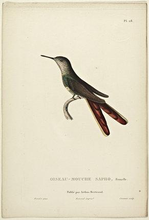 Oiseau-Mouche Sapho (Female)