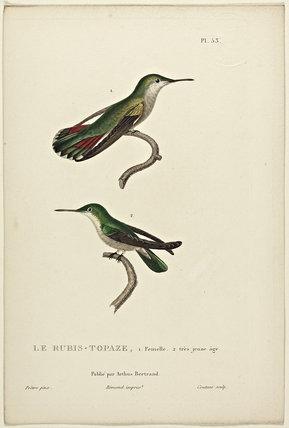 Le Rubis-Topaze 1-Female. 2-Juvenile
