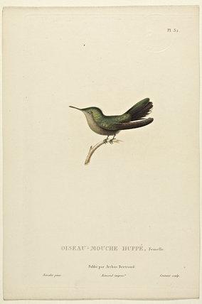 Oiseau-Mouche Huppe (Female)