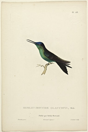Oiseau-Mouche Glaucopis (Male)