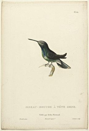 Oiseau-Mouche A Tete Grise