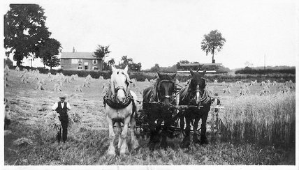 Harvesting wheat with shire horses