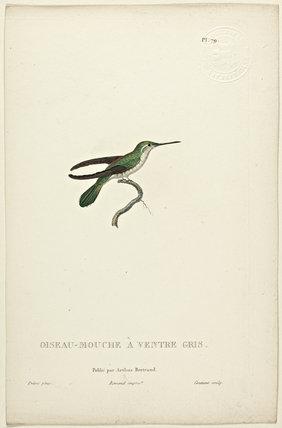 Oiseau-Mouche A Ventre Gris