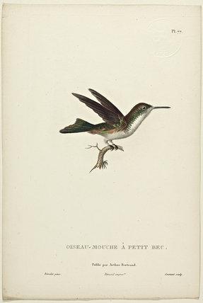 Oiseau-Mouche A Petit Bec