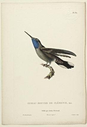 Oiseau-Mouche De Clemence (Male)