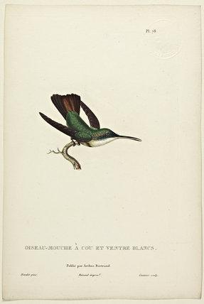 Oiseau-Mouche A Cou Et Ventre Blancs