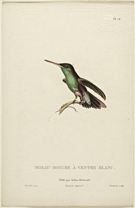Oiseau-Mouche A Ventre Blanc