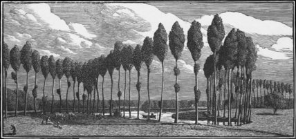 Poplars in France
