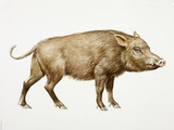 A reconstruction drawing of a Mesolithic wild boar
