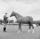 An Arab horse at a saluki show: 1954