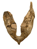Lower jaw of a mammoth, view from above: Lower Palaeolithic