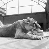 A lioness feeding: 1950s