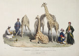 The giraffes with the Arabs who brought them over to this country: 1836