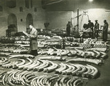 Ivory at St Katharine Dock warehouse: 1935