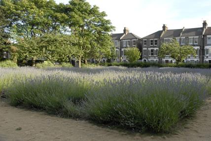 Lavender garden; 2009
