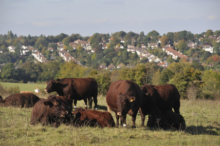 Cows on Farthing Down; 2009