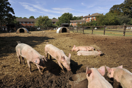 Pigs in the Surrey Docks City Farm; 2009