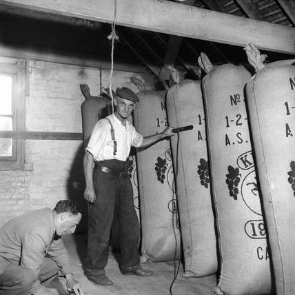 Mobile hop pickers in Yalding, Kent: 1952