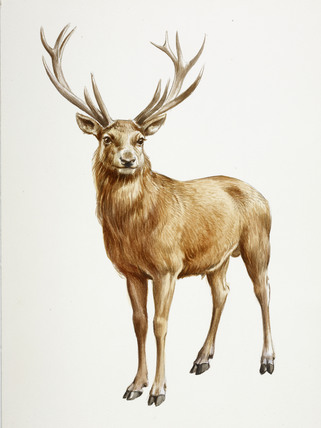 A Reconstruction Drawing Of A Mesolithic Deer By Derek Lucas At Museum Of London