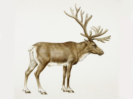 A reconstruction drawing of an Upper Palaeolithic reindeer