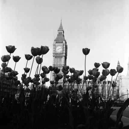 Tulips in front of the Houses of Parliament;  1964