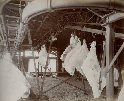 Meat on mechanical  conveyor in shed: c.1920