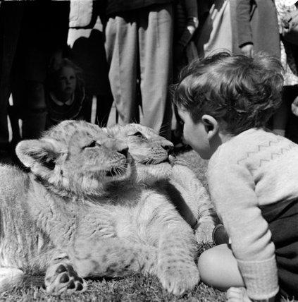 Tiger cubs, London Zoo; c.1950