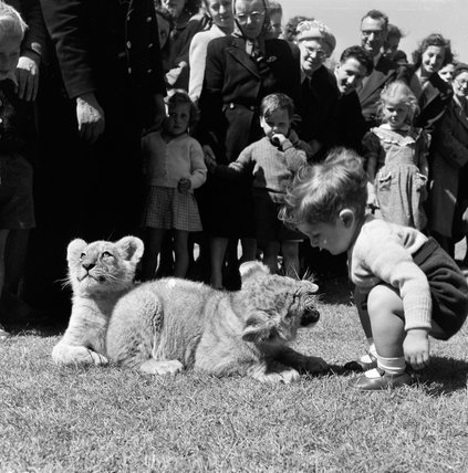 Tiger cubs, London Zoo; 1950