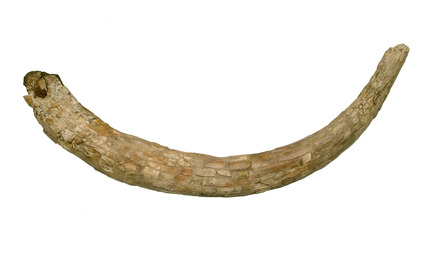 Tusk of a woolly mammoth: Lower Palaeolithic