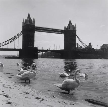 Swans on Tower Beach 1952