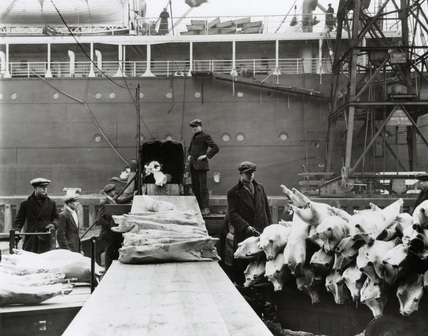 Frozen mutton discharged by conveyor: 1930