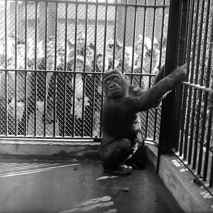 Guy the  gorilla in a cage at London Zoo; c 1955