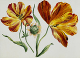 A Flower Study, by Claude Aubriet