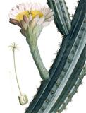 Cactus Peruvianus, by A. P. de Candolle