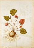 Cyclamen, by Jacques Le Moyne de Morgues
