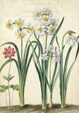 Narcissi, by Johann Jakob Walther