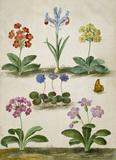 Primula Trifolia & An Iris, by Johann Jakob Walther