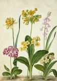 Cowslip, Primrose & other flowers, by Johann Jakob Walther