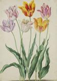 Tulips, by Johann Jakob Walther