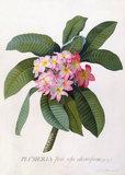 Plumeria, by George Dionysus Ehret