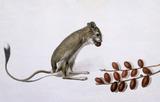 Rat, by Jean Baptiste Adanson