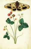 Wild Strawberry and Female Emperor Moth, by Jacques Le Moyne de Morgues