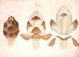 Development of the horse-chestnut bud, by Christopher Dresser
