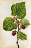Mulberry, by Jacques Le Moyne de Morgues
