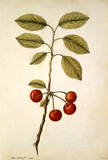 Cherry, by Jacques Le Moyne de Morgues