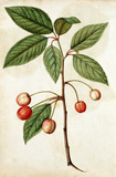 Cherry, by Jacques Le Moyne de Morgues